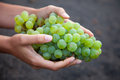 Wine grapes growing on the canary islands in spain fresh green at lanzarote Stock Photo