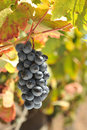 Wine grapes growing on the vine Royalty Free Stock Photography