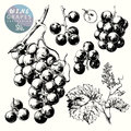 Wine grapes hand drawn illustrations of Royalty Free Stock Photo