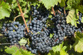 Wine grapes in harvest season Royalty Free Stock Photo