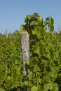 Wine grapes in harvest season Stock Image