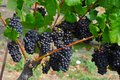 Wine grapes from Napa Valley, California Royalty Free Stock Photo