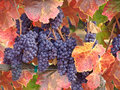 Wine grapes ready for harvest beautiful napa valley in varietal colors harvesting Royalty Free Stock Photo