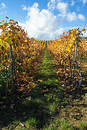 Wine grapes rows Stock Photography