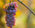 Wine grapes on a vine branch in morning sunlight Royalty Free Stock Photography