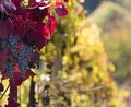 Wine grapes on a vine branch in morning sunlight Stock Photos