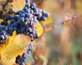 Wine grapes on a vine branch in morning sunlight Stock Photo