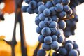Wine grapes on a vine branch in morning sunlight Stock Image