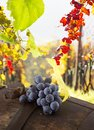 Wine grapes on a vine branch in morning sunlight Stock Photography