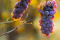 Wine grapes on a vine branch in morning sunlight Royalty Free Stock Images