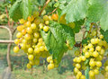 Wine grapes white fresh and green leaves Stock Image