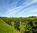 Wine growing area in indian summer Royalty Free Stock Photography