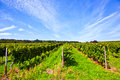 Wine growing area in indian summer Stock Image