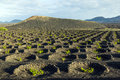 Wine growing in the area of la geria world cultural heritage beautiful grape plants grow on volcanic soil which is a unesco Royalty Free Stock Images