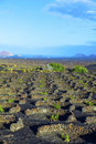 Wine growing in the area of la geria world cultural heritage beautiful grape plants grow on volcanic soil which is a unesco Stock Photos