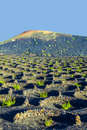Wine growing in the area of la geria world cultural heritage beautiful grape plants grow on volcanic soil which is a unesco Stock Images