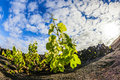 Wine growing in the area of la geria world cultural heritage beautiful grape plants grow on volcanic soil which is a unesco Royalty Free Stock Photography