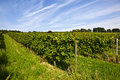 Wine growing district in the sun cluster of white grapes vineyard indian summer Royalty Free Stock Images