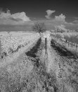 Wine growing with dramatic sky monochrome black and white scenery of a viniculture in rows extending into the background where a Royalty Free Stock Image