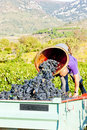 Wine harvest Royalty Free Stock Images