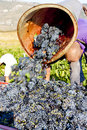 Wine harvest, France Royalty Free Stock Photos