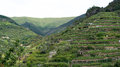 Wine hills of vernazza cinque terre in liguria italy Royalty Free Stock Images