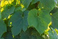 Wine leafs background in yard vine with copyspace horizontal shot Stock Image