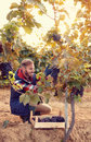 Wine maker picking black grapes on vineyard Royalty Free Stock Photo
