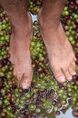 Wine making process mans feet squash hand picked ripe red grapes during concept Royalty Free Stock Photos
