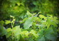 Wine plants Royalty Free Stock Photography