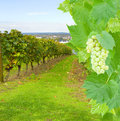 Wine yard with grape green fresh foliage and Royalty Free Stock Photo
