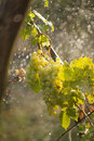 Winegrapes on artificial rain Royalty Free Stock Photo