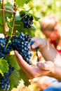 Winemaker picking wine grapes man at harvest time in the sunshine Stock Photo