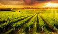 Winery gold a beautiful sunset over vineyard in south australia Royalty Free Stock Image