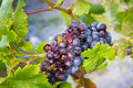 Winery grapes and bees being eaten by at a Royalty Free Stock Image