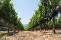 Wineyard with cabernet sauvignon in summer Stock Photography