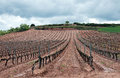 Wineyard in La Rioja in the cloudy day Stock Photography