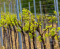 Wineyard in the spring countryside rows Stock Photography