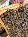 stock image of  Winged bee slowly flies to honeycomb collect nectar for honey on private apiary