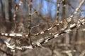 Winged Burning Bush branches - Euonymus alatus Royalty Free Stock Photo