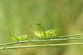 Wingless longhorned grasshopper the two green grasshoppers on grass Royalty Free Stock Photos