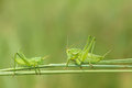Wingless longhorned grasshopper the two green grasshoppers look at each other on grass Royalty Free Stock Images