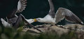Wings and beaks avian power struggle two seagulls locked in a sustained display of territorial behavior on the rocks above the Royalty Free Stock Image