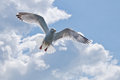 On the wings of a gull herring in flight with outstretched Stock Images