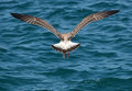 Wings symmetry symmetrically opened of a seagull with dark feathers and fan tail taking off from dark blue sea with small waves Royalty Free Stock Photo