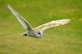 Wingspan the beauty of owls is highlighted here Royalty Free Stock Photos