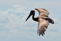 The wingspan of a pelican displays his beautiful Royalty Free Stock Images