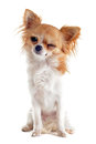 Wink of chihuahua Royalty Free Stock Photo