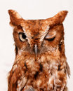 Winking owl Royalty Free Stock Photo