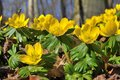 Winter aconite Eranthis hyemalis Stock Image